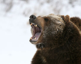 picture of grizzly bear  - A Grizley Bear Growling with a background of snow - JPG
