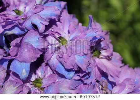 Delphinium abstract