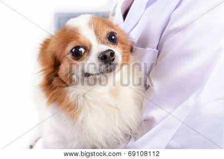 Chihuahua Dog With Doctor.
