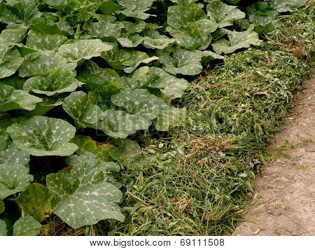 row of pumpkins planted to the bottom of irrigation ditch covered with heaps of weeds as mulch in arid zone