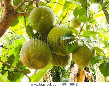 Pomelo fruits