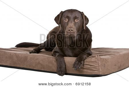 Handsome Labrador On His Memory Foam Bed. Comfy!