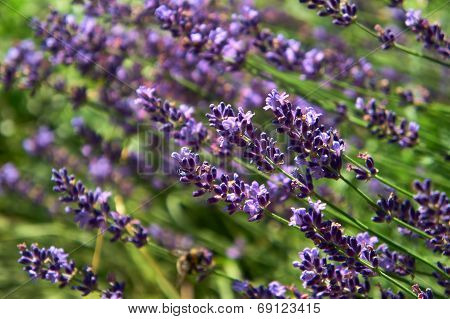 Close-up Of Blooming Lavender Flower.
