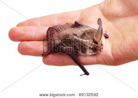Long-eared Bat On Hand