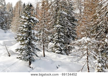 Snow-covered Coniferous Forest In Dolomites, Italy
