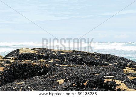 Colony Mussels On Costa Da Morte, Spain