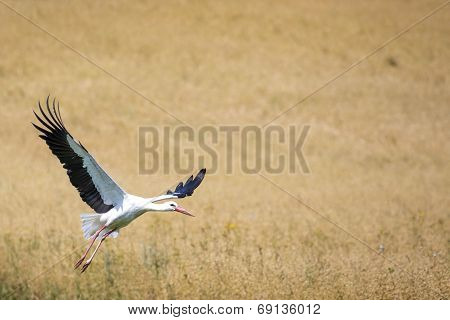 A Stork In Flight In Suwalki Landscape Park, Poland.