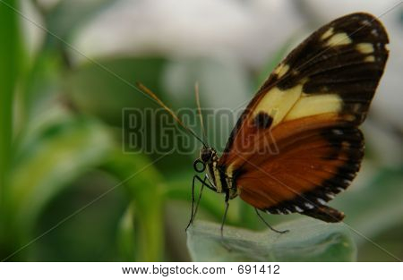 The Ecuadorian Butterfly