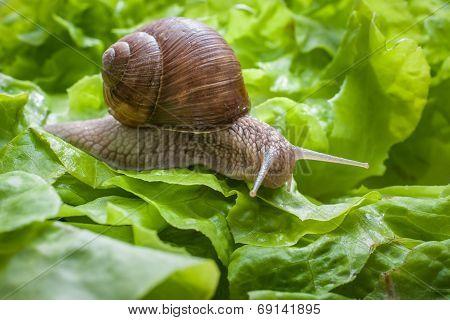 Helix Pomatia, Burgundy Snail