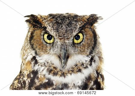 Close-up Of A Great Horned Owl On White