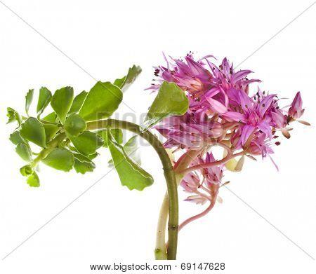 Herbaceous Perennial Succulent Plant  Crassulaceae Sedum telephium L.or Sedum purpureum L. Schuit)