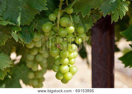 Chardonnay grapes.