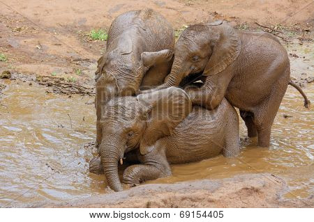 Three Baby Elephants Enjoying a Mud Bath