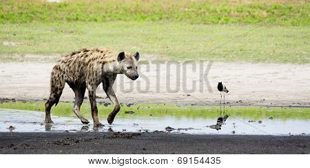 Hyena in Shallow Water, Liuwa Plains National Park, Zambia, Africa