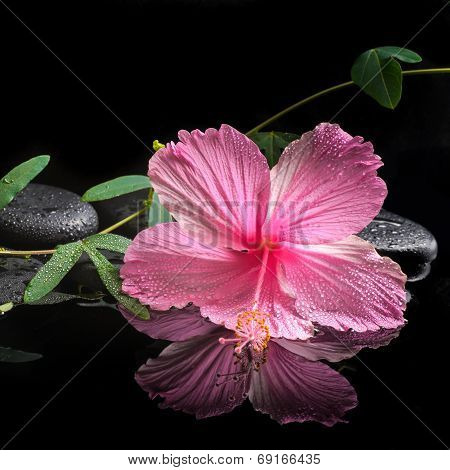 Spa Concept  Of  Blooming Pink Hibiscus And Green Tendril Passionflower On Zen Stones With Drops, Re