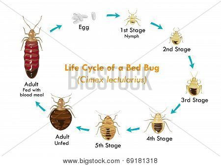 Life Cycle of the Bed Bug vector eps10