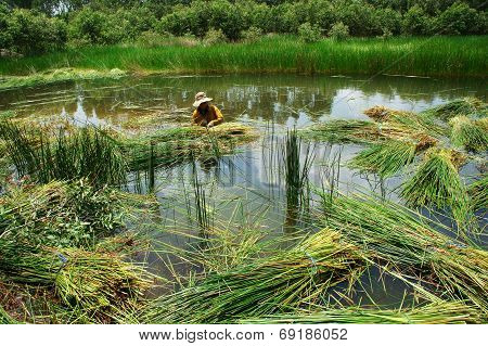 People Soak In Water, Harvest Sedge