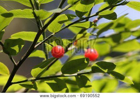 Red Huckleberries - Vaccinium Parvifolium