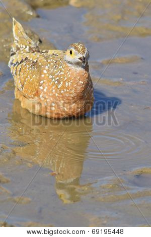 Burchell's Sand Grouse - African Wild Bird Background - Pattern of Life