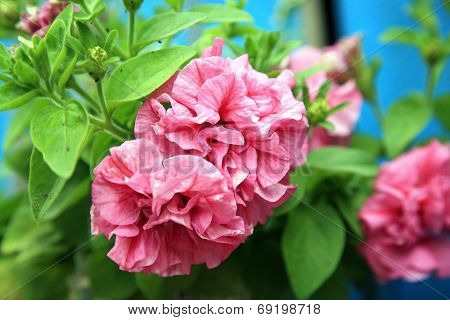 Composition of petunia, surfinia