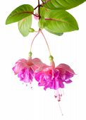 picture of pompous  - blossoming beautiful colorful fuchsia isolated on white background  - JPG
