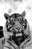 foto of white-tiger  - A Black and white portrait of tiger cropped in close - JPG