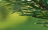 pic of pine-needle  - Beautiful background with rain drops on pine needles - JPG