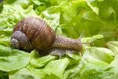 foto of garden snail  - Slug in the garden eating a lettuce leaf - JPG
