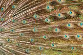 foto of erection  - A pattern of plumage which displayed by a male peafowl  - JPG