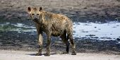 stock photo of hyenas  - Muddy - JPG