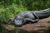 image of gator  - large american alligator laying close to green grass enjoying the bright florida sunshine - JPG