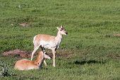pic of antelope horn  - two female prong horn antelope in Custer state park South Dakota - JPG