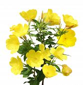 picture of primrose  - Evening Primrose  - JPG