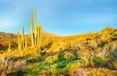 foto of ocotillo  - Saguaros catching days first sunrays in Arizona - JPG