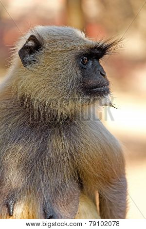 Langur Close-up