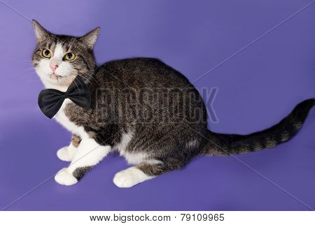 Tabby And White Cat In Bow Tie Sitting On Blue