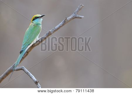 Green Bee-eater on a branch