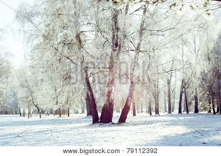 Three Birch Trunk In The Snow