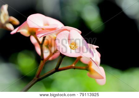 Crown Of Thorns Flower,christ's Thorn Flower,euphorbia Milii Flower