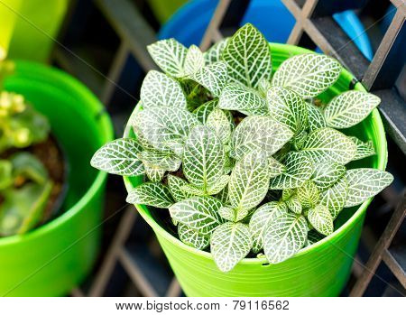 Nerve Plant Or Mosaic Plant In Bright Green Pot.(scientific Name : Fittonia Verschaffeltii)