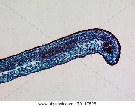 Leaf Micrograph