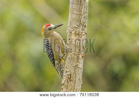 Hoffmanns Woodpecker.