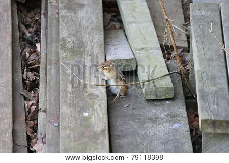 Chipmunk, Eastern (Tamias striatus)