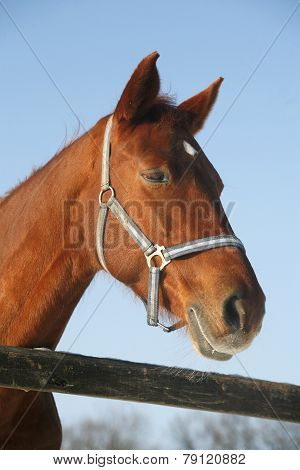 Portrait Of A Nice Purebred Horse Winter Corral Rural Scene