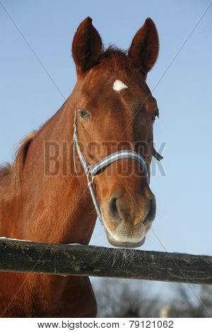 Portrait Of A Nice Purebred Horse Winter Corral