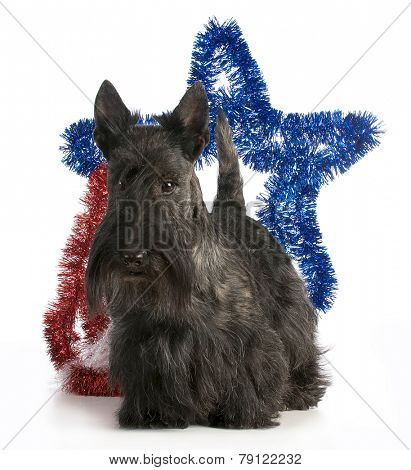 scottish terrier standing with a star behind his back on white background