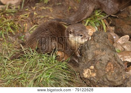 Young Oriental Short Clawed Otter