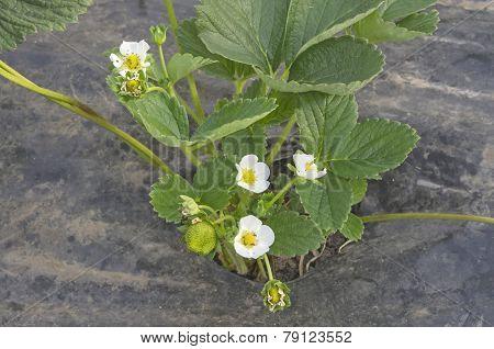 Strawberry Plant Flower