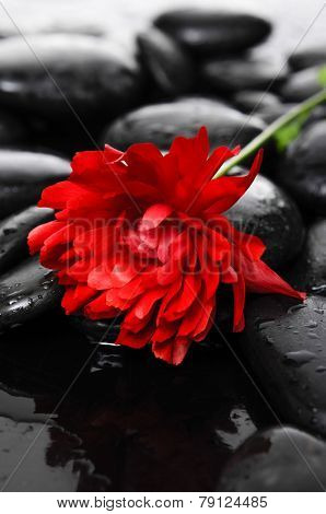 Lying down Red ranunculus and therapy stones