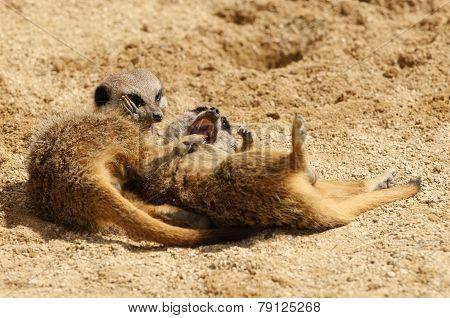 Young Meerkats